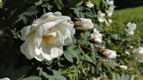 midsummer roses summer rose
