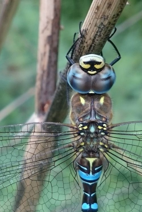 migrant hawker dragonfly dragonfly insect