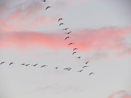 migration bird clouds