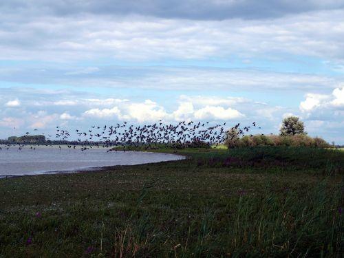 migratory birds flock of birds lake
