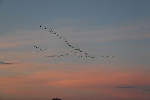 migratory birds birds migratory bird