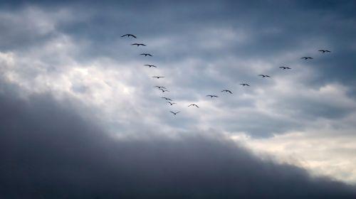migratory birds sky migratory bird