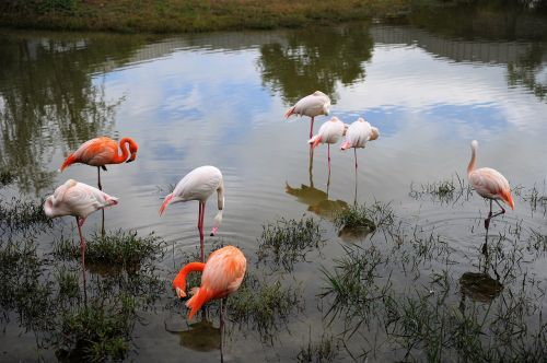 migratory birds flamingo birds