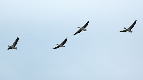 migratory birds geese wild geese