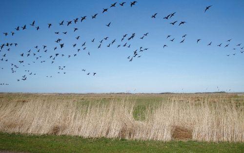 migratory birds flock of birds birds