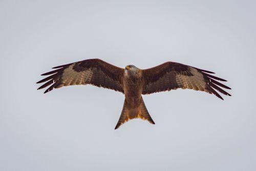 milan raptor bird of prey
