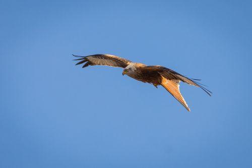 milan bird bird of prey