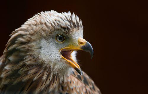 milan bird raptor