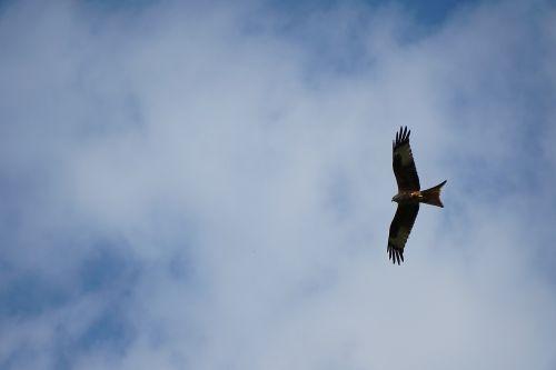 milan red kite feather