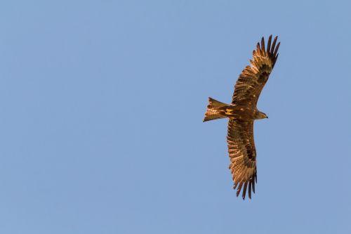 milan bird of prey raptor