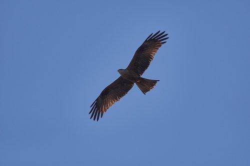 milan  sky  bird of prey
