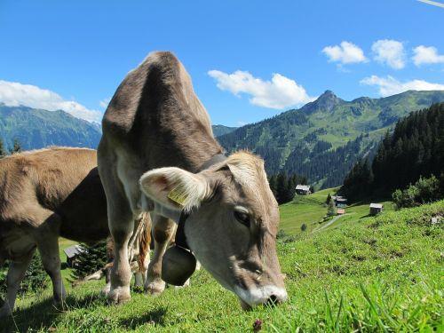milk cow cow austria