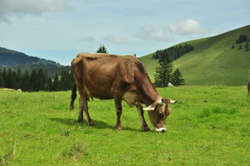 milk cow cow alm