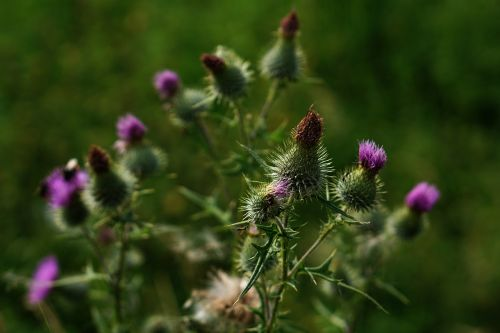 milk thistle thistle purple
