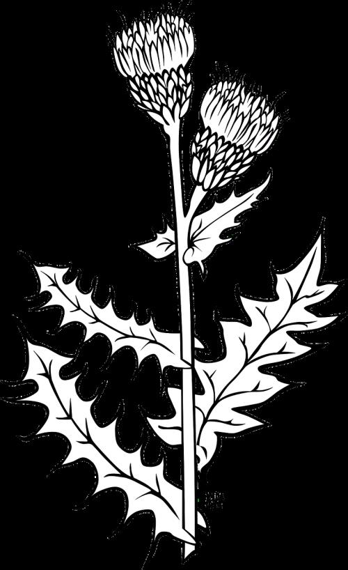 milk thistle silybum marianum plants