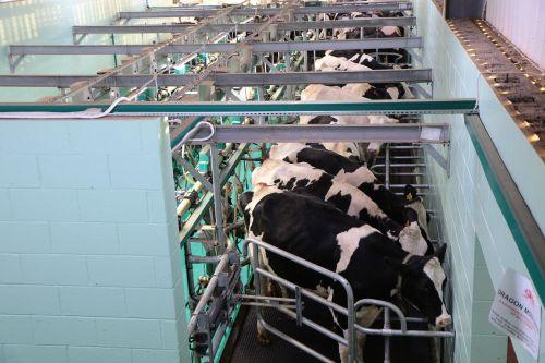 milking parlour modern