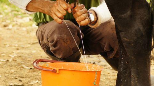 milking hands peasant