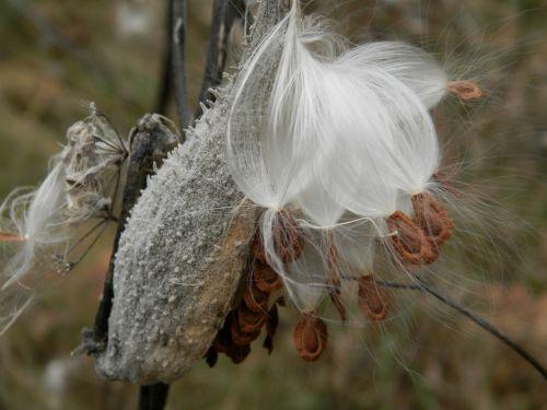 milkweed pod milkweeds