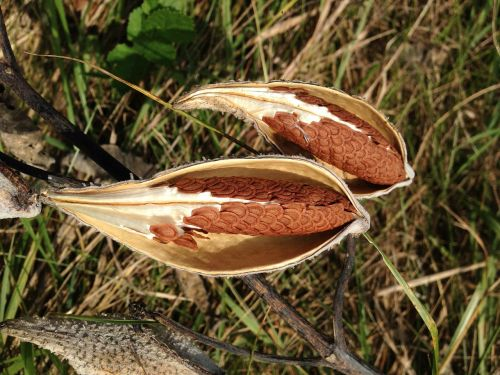 milkweed pods fall