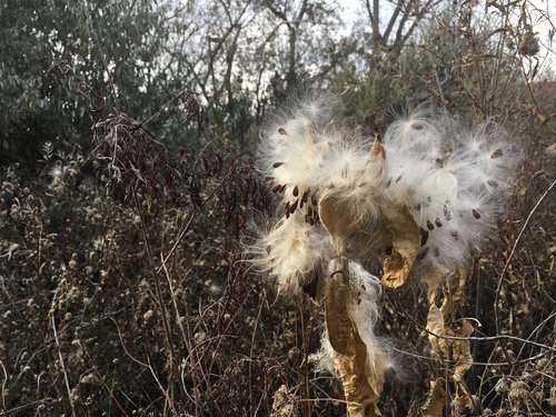 milkweed  seeds  fall foliage
