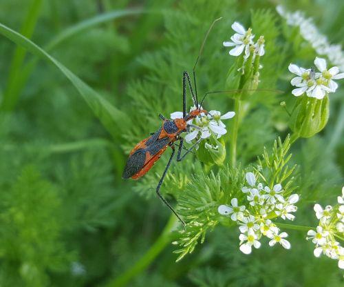 milkweed assassin bug assassin bug insect