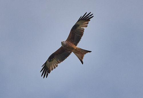 millan,paukštis,skristi,paukščiai,plumėjimas,dangus,sparnas,gamta,mėlynas