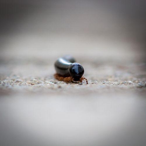 millipede small rains
