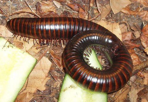 millipedes myriapoda centipedes
