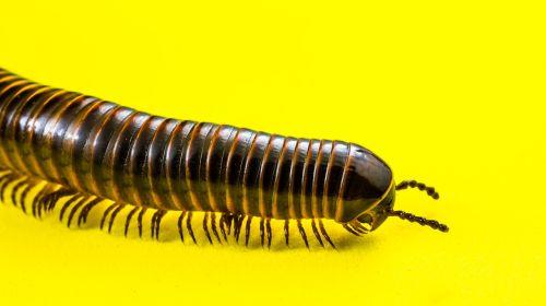 millipedes arthropod giant tausendfüßer