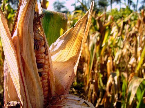 millo corn ancient maize