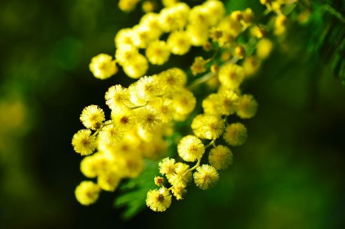 mimosa côte d'azur flower