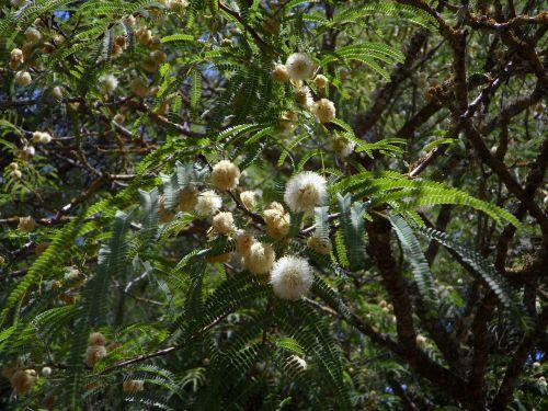 mimosa acacia tree