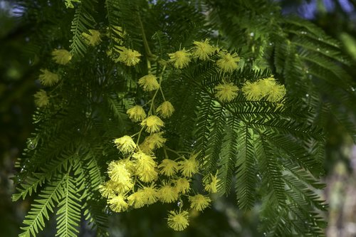 mimosa  party women  flowers