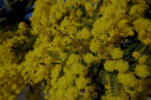 mimosa  mimosa woman  yellow