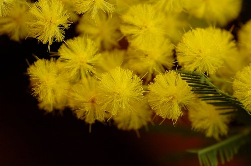mimosa  flower  nature