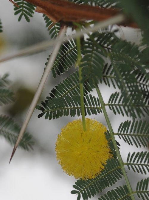 mimosa flower thorn