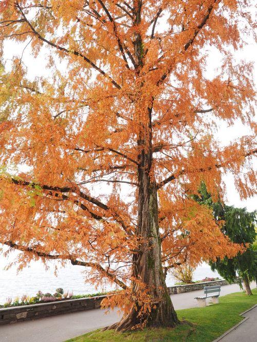 mimosa ornamental fall color