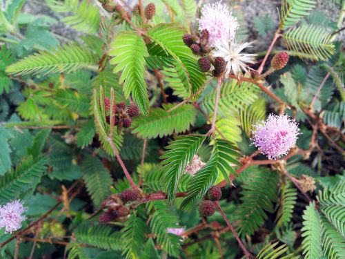 Mimosa Flower And Seeds 2