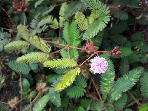 Mimosa Flower And Seeds