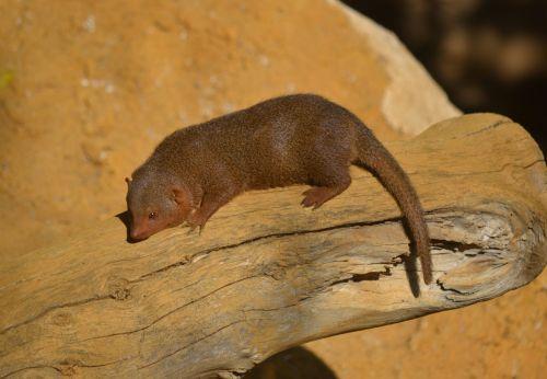 Miniature Mongoose