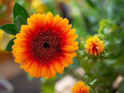 mini gerbera  flower  orange