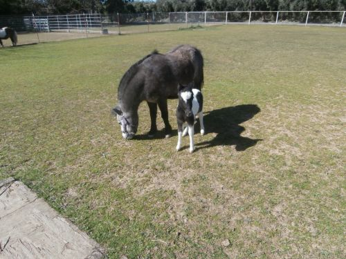 Mini Mare & Foal