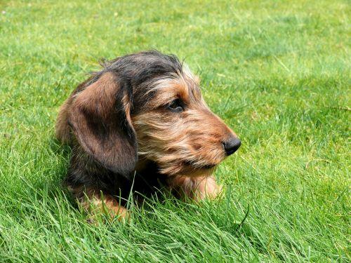 miniature dachshund dachshund dog