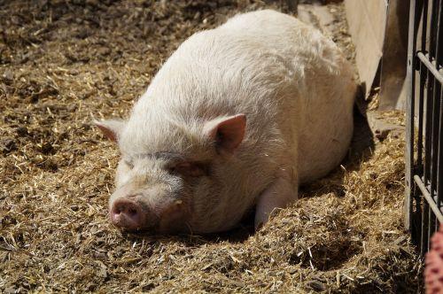 miniature pig pig pot bellied pig