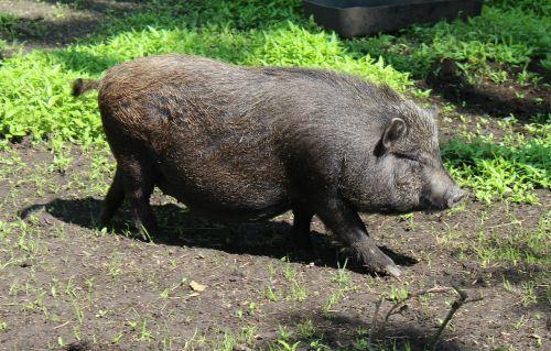 miniatiūrinė kiaulė,kiaulė,naminė kiaulė,naminės kiaulės,gyvūnas,kiaušinių kiaulė,gyvūnų pasaulis,Žemdirbystė,gyvūnai