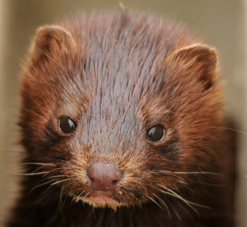 mink young baby