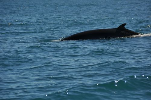 banginis banginis,wal,vanduo,jūra,gamta