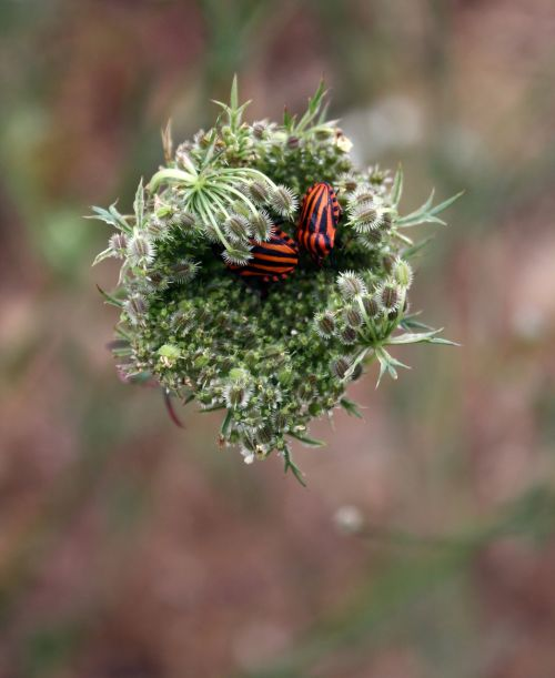 minstrel bug beetle striped-bug