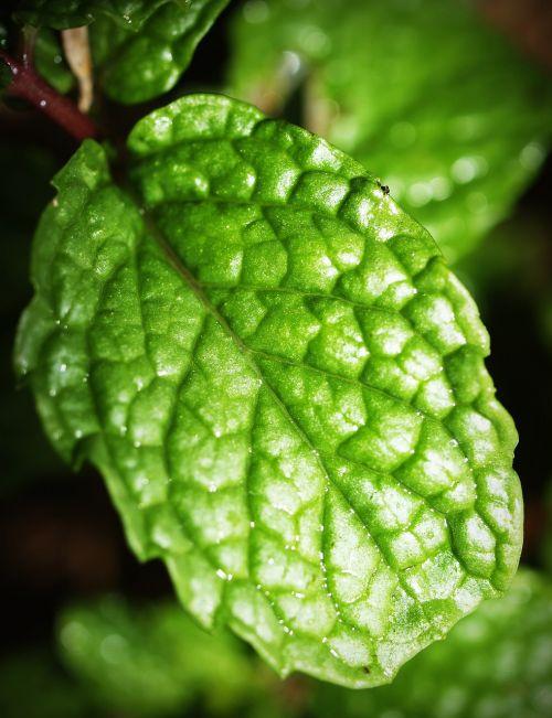 mint leaf menthol