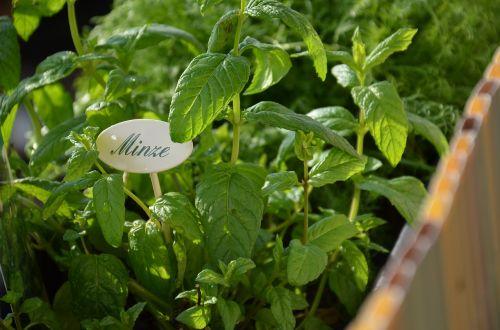 mint herb garden herbs